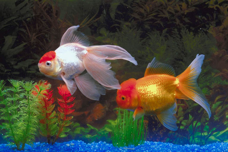 Freshwater aquarium fish photos - Freshwater tropical fish ...Fresh Water Aquarium Gold Fish Images