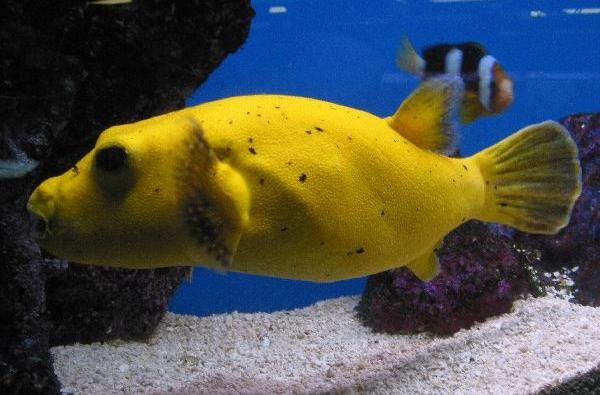 Black Dog Face Puffer For Sale