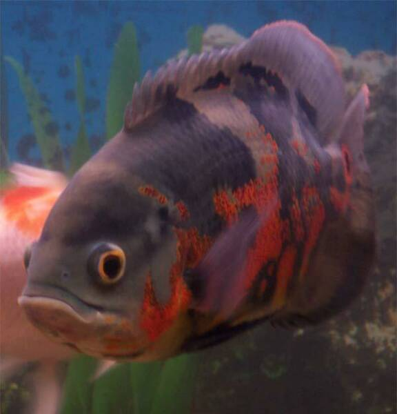 Freshwater Aquarium Fish Photos Freshwater Tropical Fish