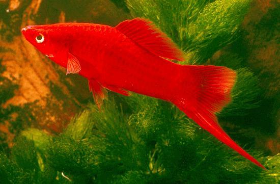 My Tropical Fish: Swordtail Fish